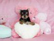 ティーカップヨーキー モデル犬